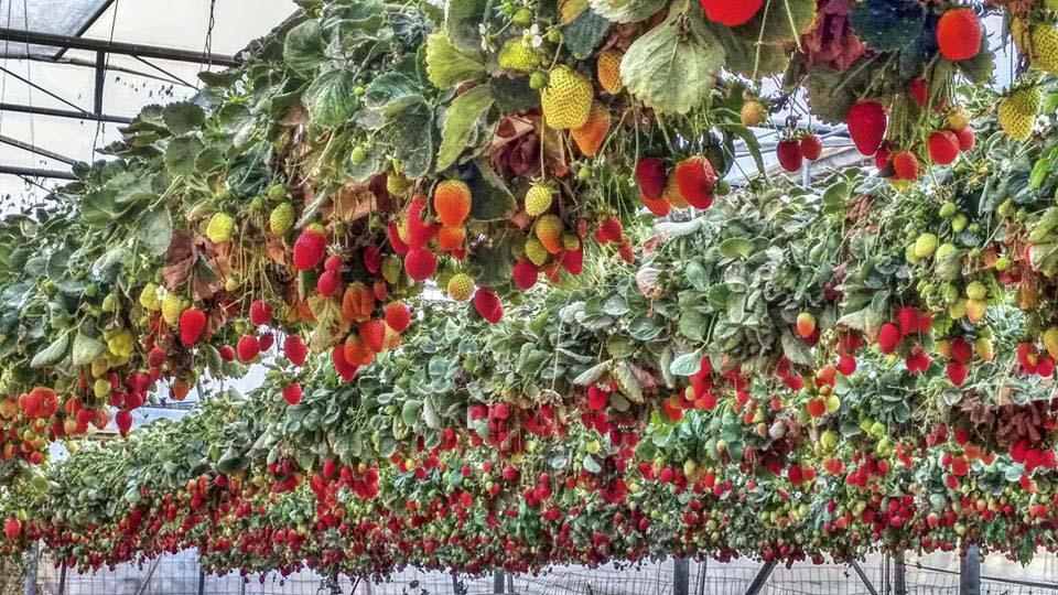 Израильские технологии выращивания клубники 67