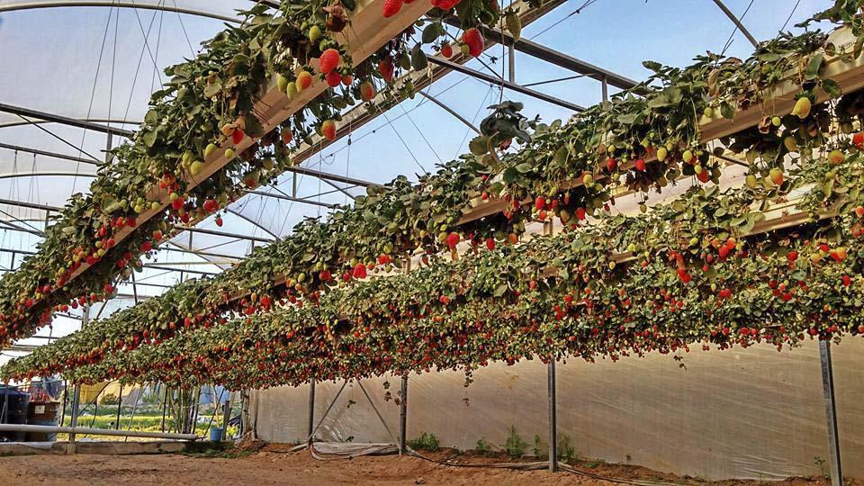 Израильские технологии выращивания клубники 58