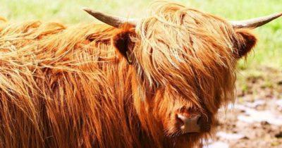 Корова, которая изменит будущее еврейского народа
