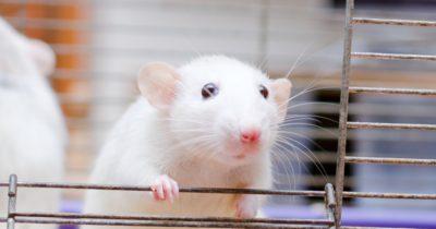 Израильские ученые научились останавливать метастазы у мышей