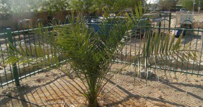Пальма снова дает плоды спустя 2000 лет!